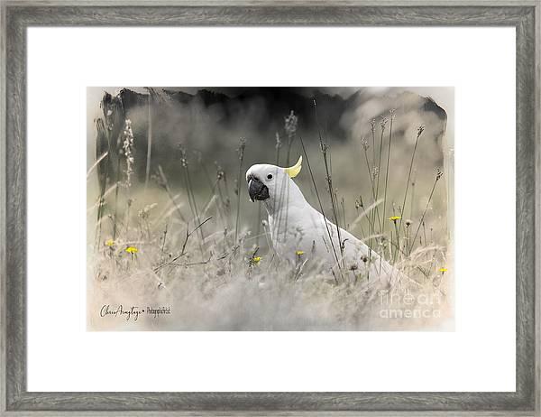 Sulphur Crested Cockatoo Framed Print