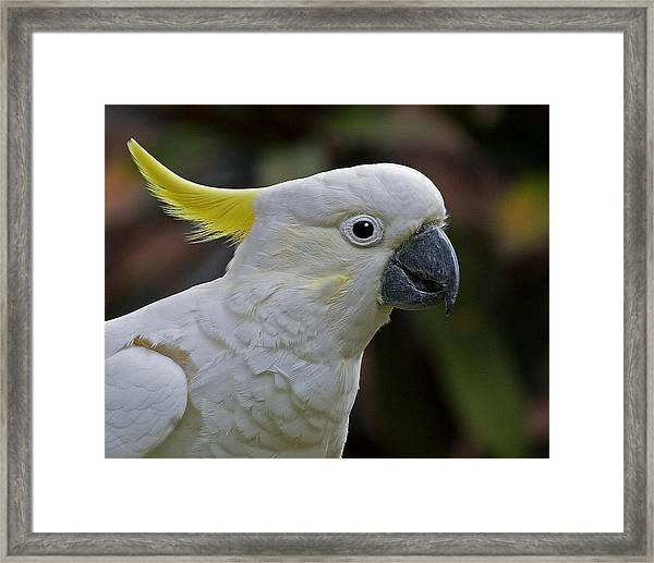 Sulphur-crested Cockatoo Framed Print