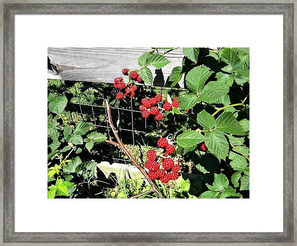 Summer Blackberries Framed Print