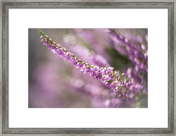 Summer Breezes Through The Heather Framed Print