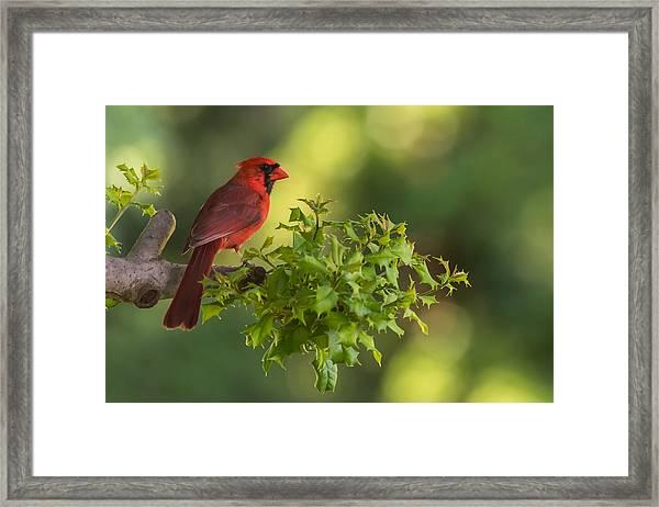 Summer Cardinal New Jersey Framed Print