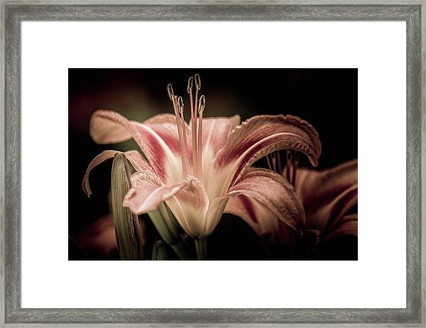 Summer Lily Framed Print