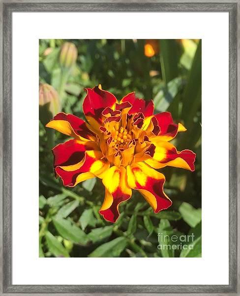 Summer Marigold Framed Print