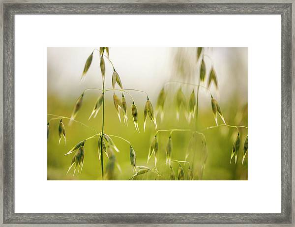 Summer Oat Framed Print
