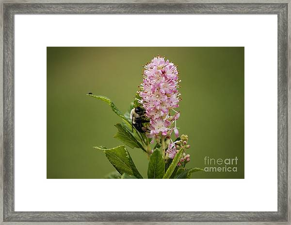 Summersweet Framed Print