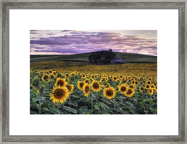 Summertime Sunflowers Framed Print