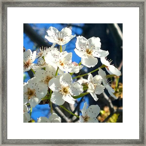 #sun Drenched #tree #blossoms So Sweet Framed Print