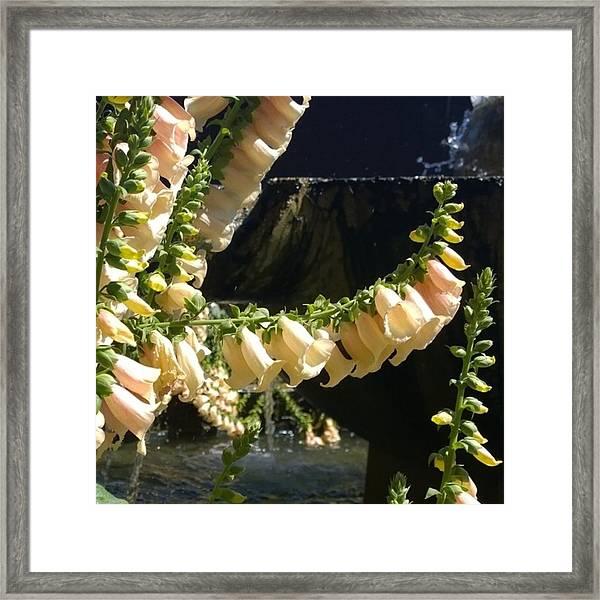 #sun Kissed Lovely #foxglove #flowers Framed Print