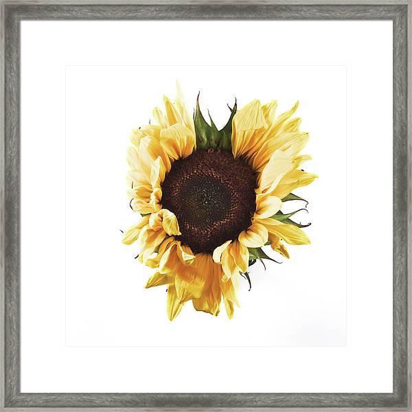 Sunflower #1 Framed Print