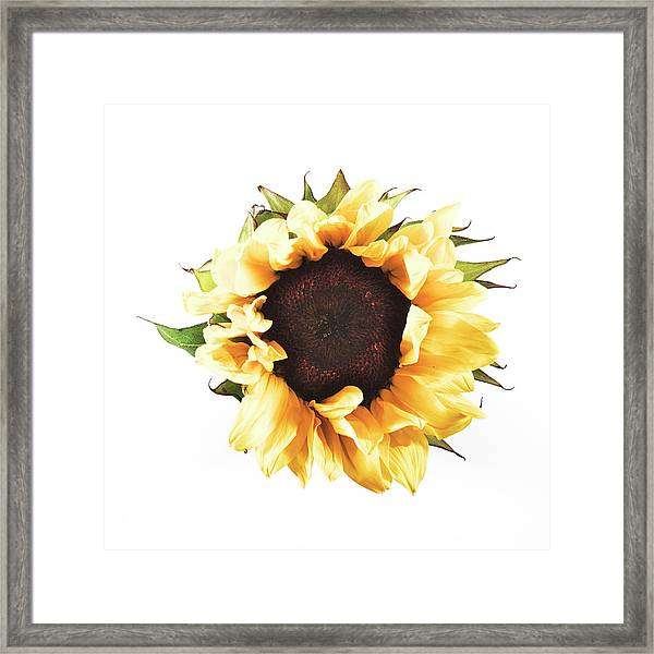 Sunflower #2 Framed Print
