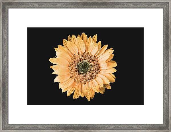 Sunflower #6 Framed Print