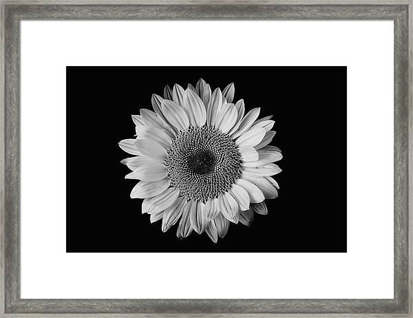 Sunflower #7 Framed Print