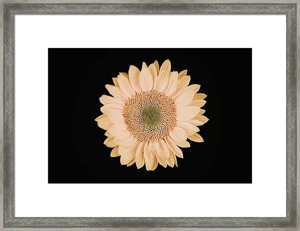 Sunflower #9 Framed Print