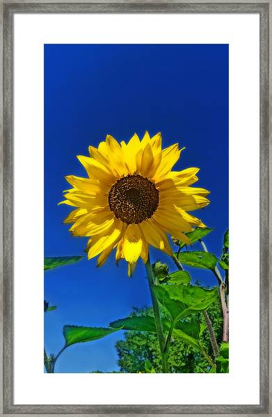 Maize 'n Blue Framed Print
