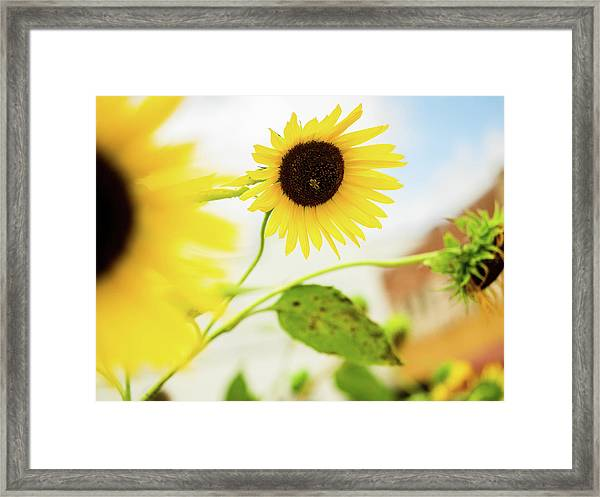 Sunflower And The Bee Framed Print