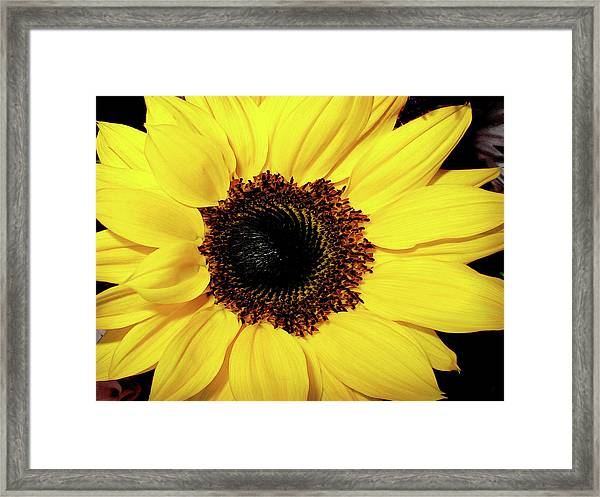 Sunflower Big And Beautiful Framed Print by Julie Palencia