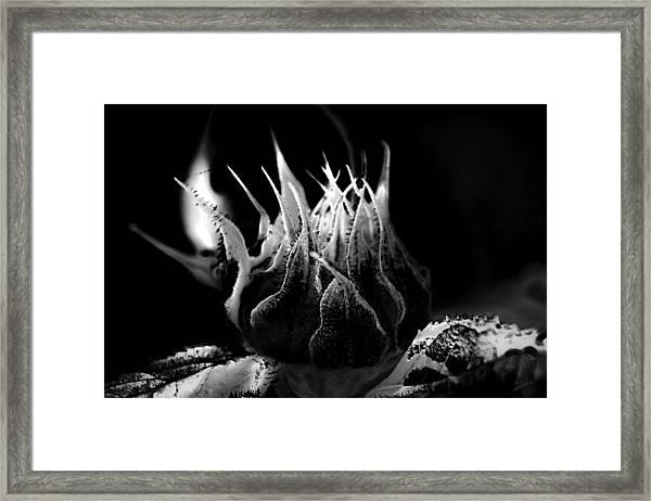 Sunflower Bud Abstract Framed Print