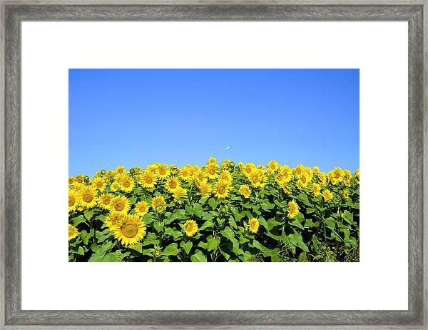 Sunflower City Framed Print by Gary Smith