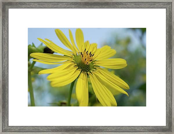 Sunflower Close-up Framed Print