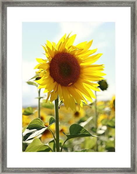 Sunflower Framed Print by Falko Follert