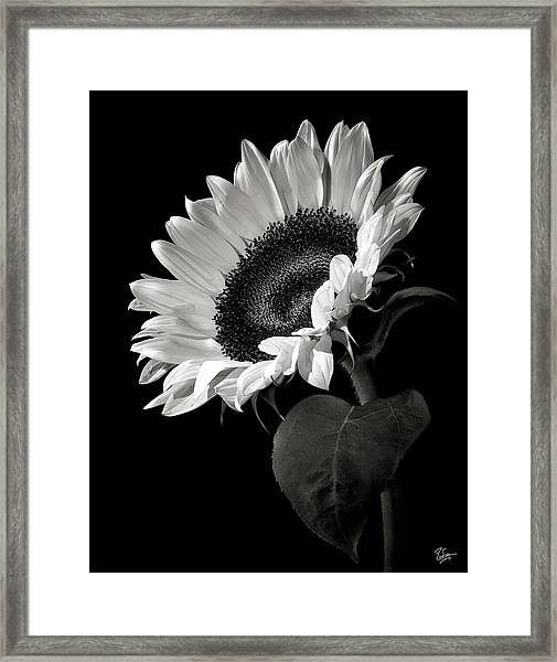 Sunflower In Black And White Framed Print