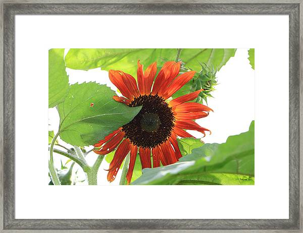 Sunflower In The Afternoon Framed Print