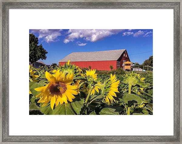 Sunflower Red Barn Framed Print