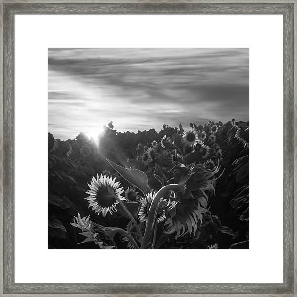 Sunflower Rise In Black And White Framed Print