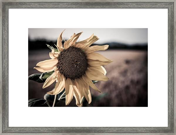 Sunflower Solitude Framed Print