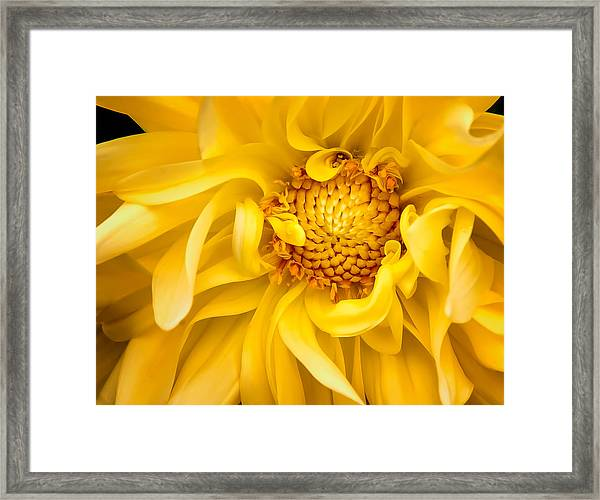 Sunflower Yellow Framed Print