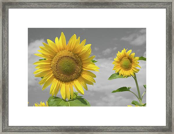 Framed Print featuring the photograph Sunflowers V by Dylan Punke