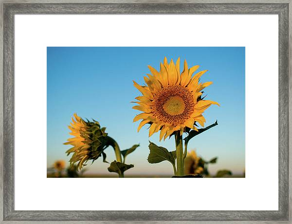 Sunflowers At Sunrise 1 Framed Print