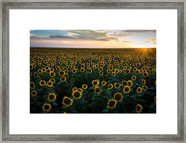 Sunflowers At Sunset Framed Print