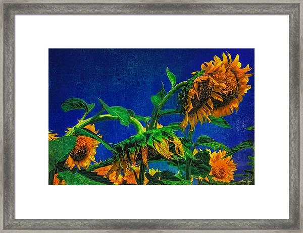 Sunflowers Awakening Framed Print