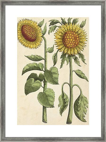 Sunflowers Illustration From Florilegium Framed Print