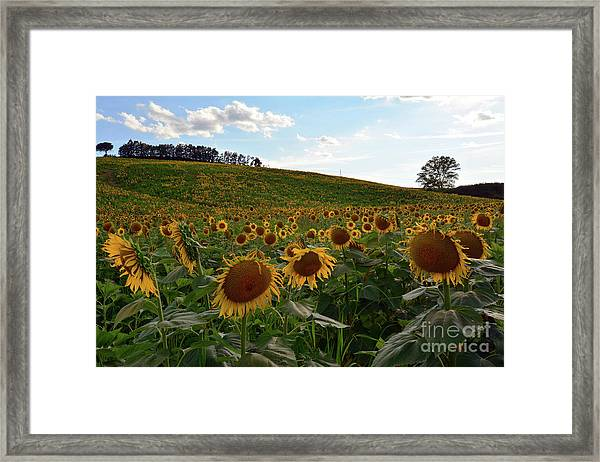 Sunflowers Fields  Framed Print