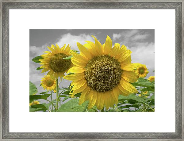 Framed Print featuring the photograph Sunflowers IIi by Dylan Punke
