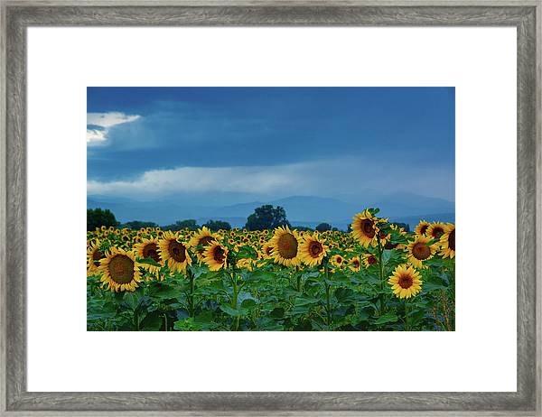 Framed Print featuring the photograph Sunflowers Under A Stormy Sky by John De Bord