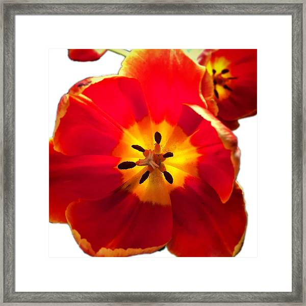 Sunkissed Tulips Framed Print