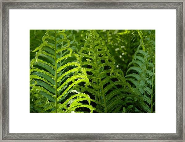 Sunlit Fern Framed Print