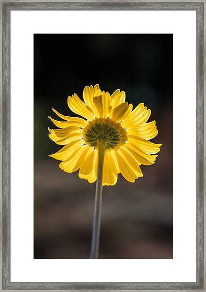 Sunlit Four-nerve Daisy  Framed Print