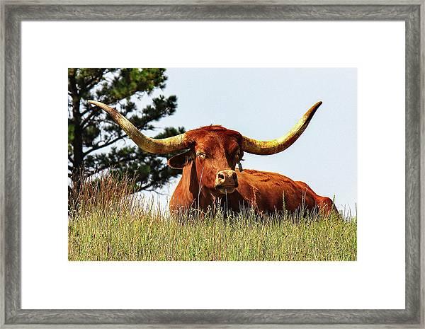 Sunning Longhorn  Framed Print