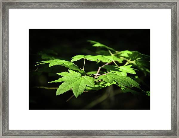 Sunny Summer Maple Framed Print