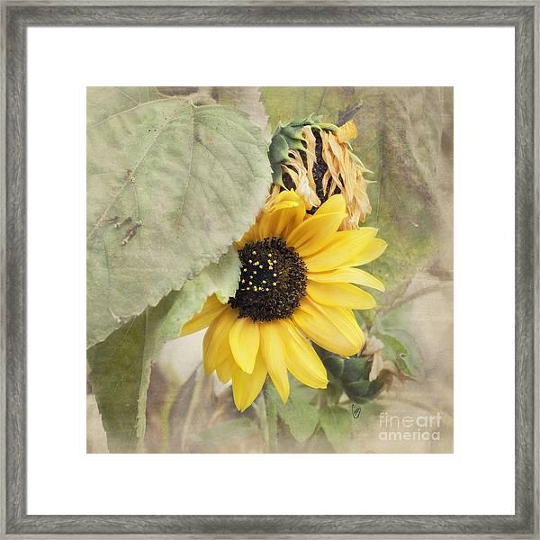 Last Sunflower Framed Print