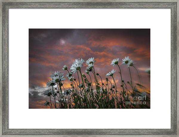 Sunset And Daisies Framed Print