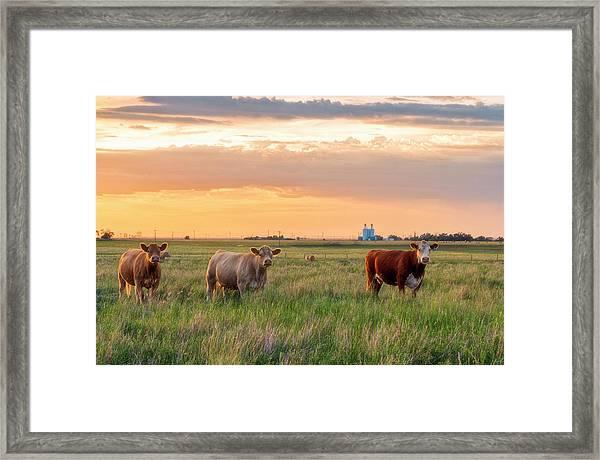 Sunset Cattle Framed Print