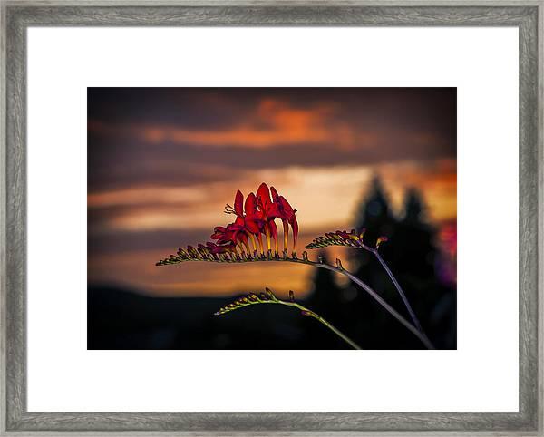 Sunset Crocosmia Framed Print
