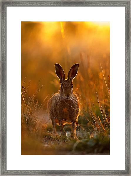 Sunset Hare Framed Print