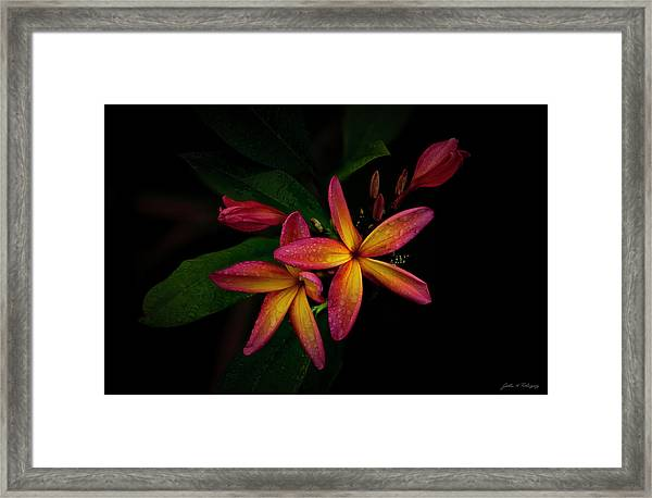 Sunset Plumerias In Bloom #2 Framed Print