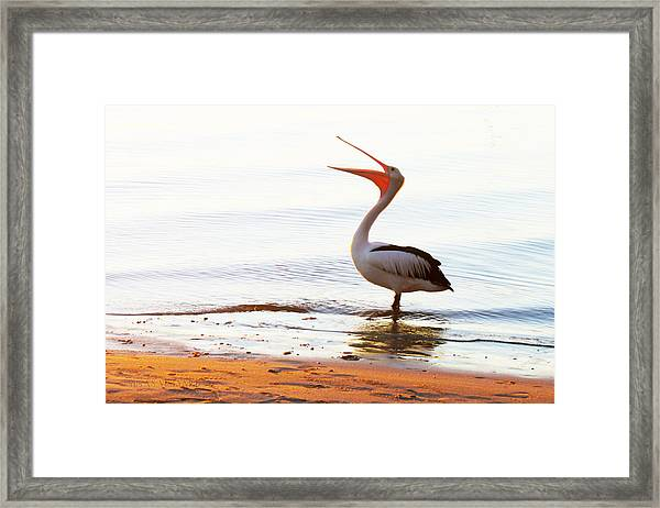 Sunshine Coast Pelican Framed Print